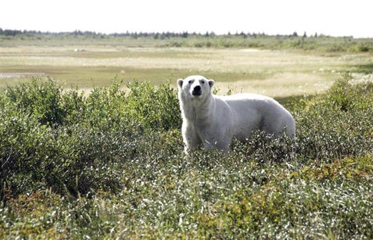Tourists can get as close as 200 feet to the polar bears. (Photo: Churchill Wild